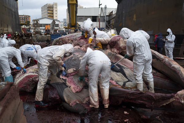 The first dissections on the carcass of the whale found dead last Thursday in the waters of the port of Sorrento are underway in the port of Naples. The examinations will provide further clarification on the death. This is what Raffaele di Palma reports to ANSA, which takes care of the communication of the Amp (Marine Protected Area) Punta Campanella between the Sorrento and Amalfi coasts. A first hypothesis has it that the animal was killed by a virus, the so-called whale measles. The length of the mammal, a fin whale that could be a hybrid between the two most frequent races in the Mediterranean, is 19.85 meters, a measure that, pending a final confirmation, would make it the largest fin whale ever recorded in the whole Mediterranean. From the first rumors, it emerges that the whale, a female, would never have been pregnant. On the quay where the carcass is being sectioned, about 25 technicians and researchers are at work, all in protective white overalls, led by the team of Sandro Mazzariol, professor at the University of Padua and head of the intervention unit of the 'Cetaceans strandings Emergency Response Team '(Cert). The team deals in Italy and abroad with the management of large cetacean strandings. Post mortem evaluations will be carried out in collaboration with scholars from the Natural History Museum of Milan and the Tethys Research Institute. At a first inspection yesterday afternoon, the deceased mammal seemed compatible, for the alleged death date, with the specimen taken in the video that went viral on the web in the port of Sorrento in which a whale can be seen wriggling and violently banging its head against the dock. But last night the technicians, viewing the videos in detail, would have come to the conclusion that they would be two different specimens.
