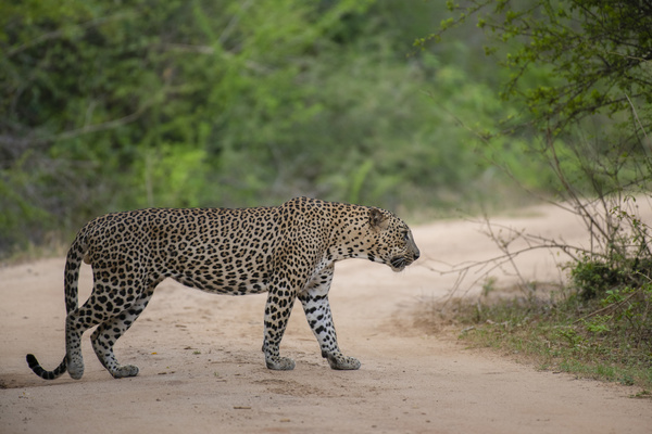 A Leopard is seen at Yala National Park (also known as Ruhunu National Park), some 260kms Southeast of capital Colombo. Yala National Park is the second-largest and the most popular National Park.