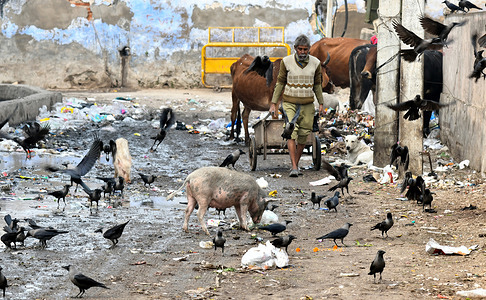 Flock of crow sitting on drain at a dirty street in Beawar. Over 1200 crows died in Rajasthan, prompting authorities to sound a Bird flu alert in the state. Bird flu has been confirmed in five states across India, including Rajasthan, Madhya Pradesh, Himachal Pradesh, Gujarat and Kerala.