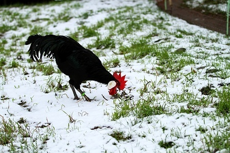 A rooster on a snow-covered meadow in Dahlem-Dorf in Berlin.