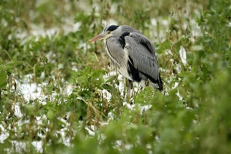 A gray Heron on a snow-covered meadow in Dahlem-Dorf in Berlin.