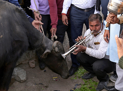 Congress activists playing trumpet musical instrument in front of a buffalo during a protest against Modi Government for rising inflation in Beawar.