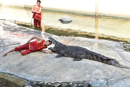 Thailand - A performance show between actors wearing red shirts and crocodiles at Samutprakarn Crocodile Farm and Zoo on January 30, 2021, Samut Prakan Province, The show is very popular with tourists.  But with Coronavirus disease (COVID-19) pandemic, the number of tourists is greatly reduced.