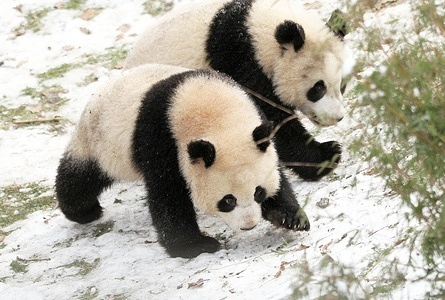 Tiergarten: The panda twins Pit and Paule play in the snow in the zoological garden in Berlin