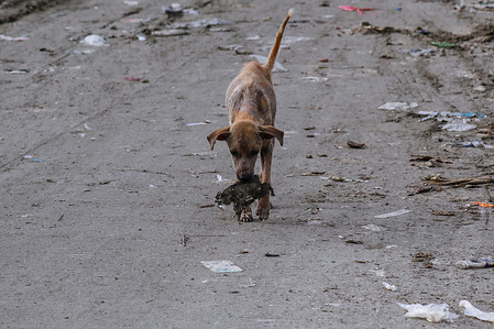 Stray dog are seen eating garbage in Binangonan, Rizal. Months after the strong of Typhoon Ulysses, parts of Binangonan Fishport are still in gutter deep flood because of the clogged drainage cause by waste.
