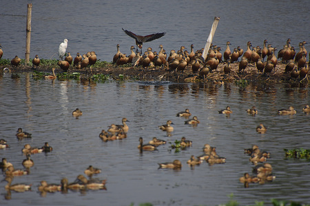 Migratory chicks growing in the presence of full grown birds (behind) at the Santragachi Jheel (lake). Lesser Whistling Duck (Dendrocygna javanica), also known as Indian Whistling Duck or Lesser Whistling Teal is the most dominant species visible here.