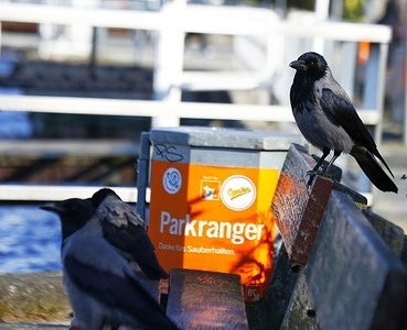 Crow at the steamboat landing stage at Wannsee in Berlin.