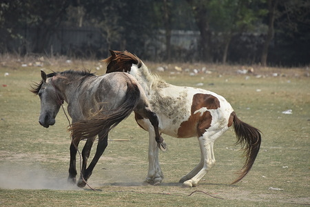 Horses are play-fighting in summer at the Kolkata maidan (Brigade Parade Ground). These horses are being used for towing the Fitton Gari (Horse-drawn vehicle) as amusement of tourists visiting Kolkata at it's maidan area.