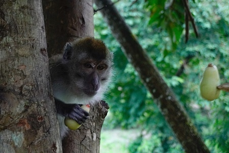 A female monkey in the tourist area of Bedegung Waterfall is eating water guava on a tree. These primates most commonly interact with humans and are often kept as pets and help with human work.